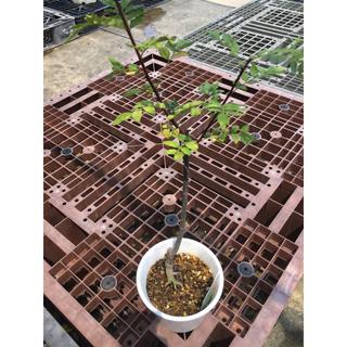 朝倉山椒の木(野菜)