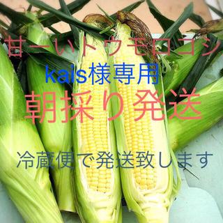 甘ーい朝採りトウモロコシ  今年は7日収穫出荷で最後になります(野菜)