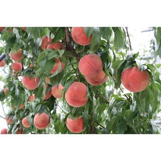 桃 ご家庭用「あかつき」約1,2kg 6個入り(フルーツ)