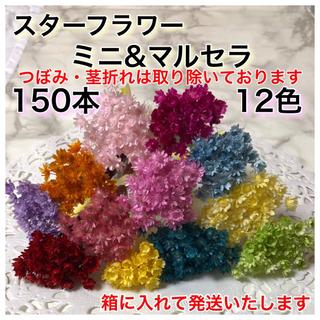 スターフラワー ミニ&マルセラ 12色・150本(ドライフラワー)