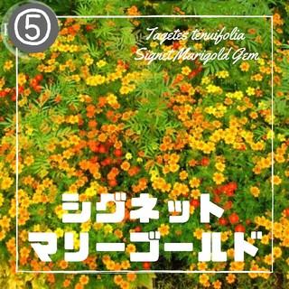 【マリーゴールド⑤】シグネットマリーゴールド 種子30粒(その他)
