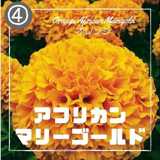 【マリーゴールド④】アフリカンマリーゴールド オレンジ 種子30粒(その他)