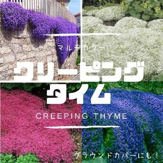 【クリーピングタイム】マルチカラー。グラウンドカバー、花壇の縁取に!種子20粒(その他)