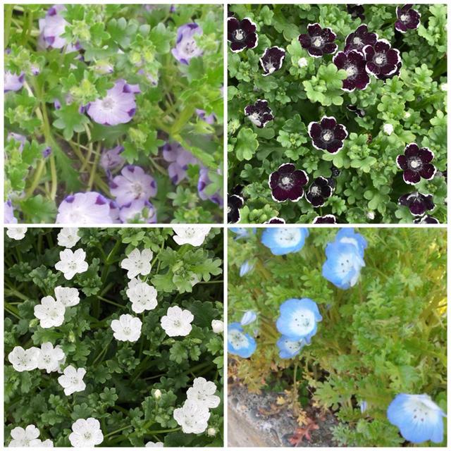 ネモフィラ種 4種 各 20粒ずつ ハンドメイドのフラワー/ガーデン(その他)の商品写真