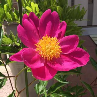 牡丹の花 の種 大輪 (その他)