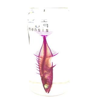 透明標本 エゾトミヨ3(置物)