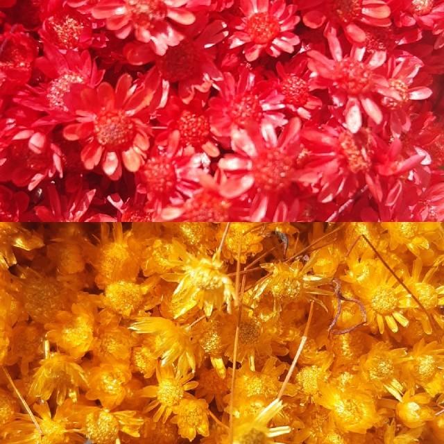 スターフラワーミニ他10色 お試し35本 ハンドメイドのフラワー/ガーデン(ドライフラワー)の商品写真