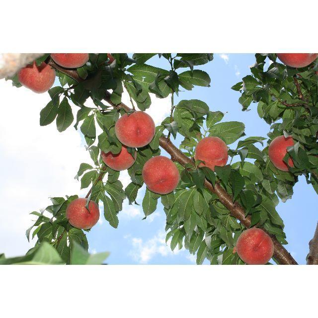 桃 ご家庭用「あかつき」約1,2kg 6個入り 食品/飲料/酒の食品(フルーツ)の商品写真