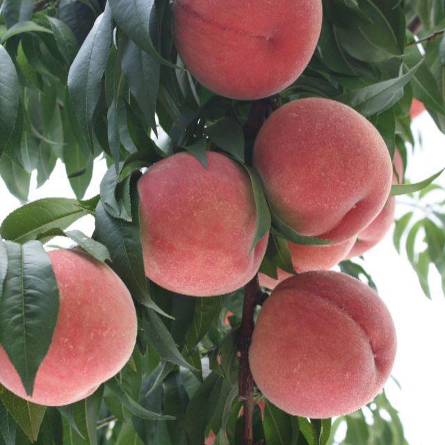 桃 ご家庭用「川中島白桃」約1,2kg 4~6個入り 食品/飲料/酒の食品(フルーツ)の商品写真
