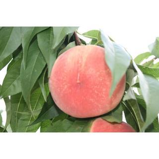 くりくさん専用 桃 ご家庭用「あかつき」約1,2kg 6個入り(フルーツ)
