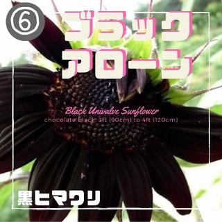 ⑥【黒ヒマワリ】ブラックアローン 種子8粒(その他)