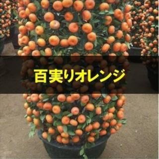 柑橘類【マンダリンオレンジ】 種子5粒(その他)