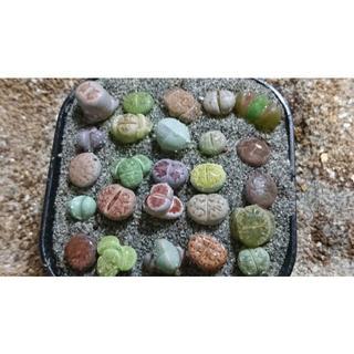 本日の特価♪ 228a 多肉植物 リトープス 25種の標本 ♪(その他)