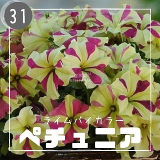 【ペチュニア㉛】ライムバイカラー 種子30粒  (その他)