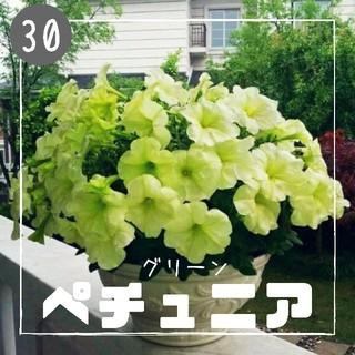 【ペチュニア㉚】グリーン 種子30粒  (その他)