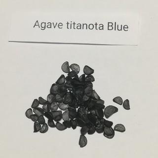 アガベ チタノタ ブルー 種子5粒(その他)