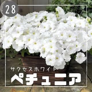 【ペチュニア㉘】サクセスホワイト 種子30粒  (その他)