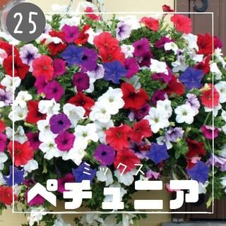 【ペチュニア㉕】ミックス 種子30粒  (その他)