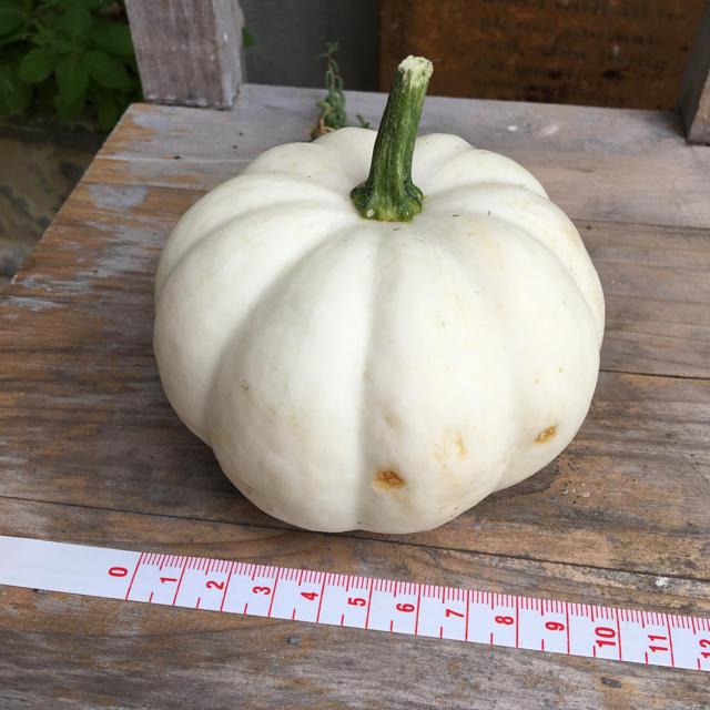 白かぼちゃ 4個 食品/飲料/酒の食品(野菜)の商品写真