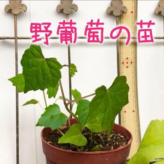 プードルご専用ページ ❁︎ 野葡萄(ノブドウ) の苗3株 ×2セット🍇(その他)