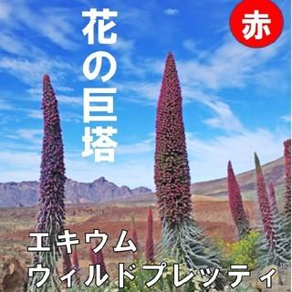 【エキウム・ウィルドプレッティ】① 赤 種子20粒(その他)