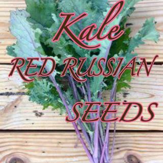 サラダケールの種10粒 ×2品種 RED RUSSIAN(その他)