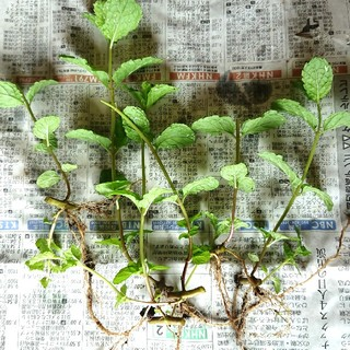 スペアミントの根つき(6本)無農薬(野菜)
