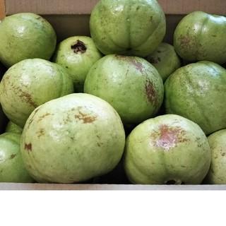 『訳あり グァバ白8キロ』サラダ利用可能品種 (フルーツ)