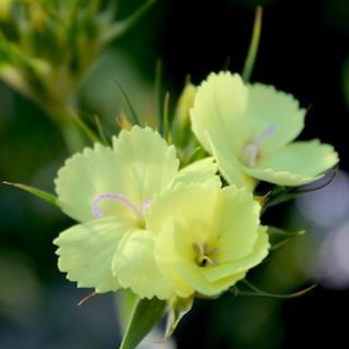 最終 ダイアンサス ナッピー 花の種(その他)