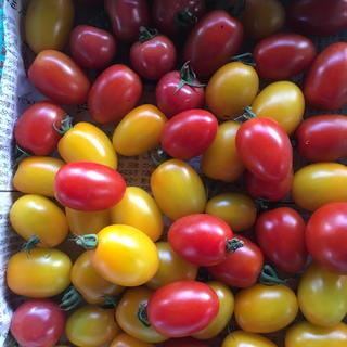 ミニトマト(アイコ、イエローアイコ、ピンキー)1、8kg(野菜)