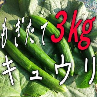 もぎたてきゅうり3kg規格外品オマケ付き☆山形県産