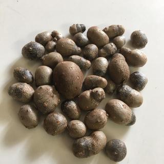 無農薬!自然薯のむかご!種芋に!(野菜)