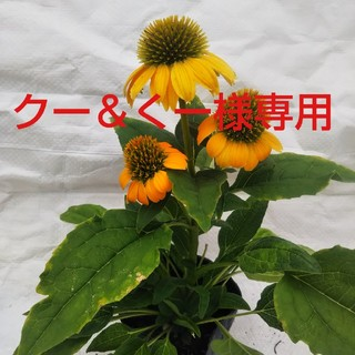 エキナセア9cmポット苗(その他)