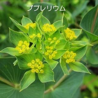 秋蒔き花の種  ブプレリウムの種を70粒(その他)