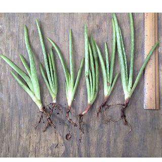 アロエ ベラ 1苗 根付き苗  オーガニック 100%  完全無農薬無化学肥料