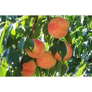 桃 黄色い桃(黄金桃)約1.2k 1k箱 4~6個入り(フルーツ)
