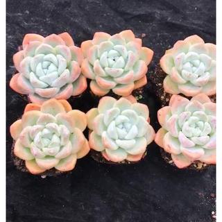ピンクアイスグリーン 多肉植物(その他)