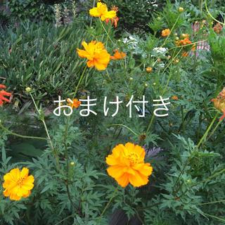 キバナコスモス 黄色 オレンジ  おまけ付き(その他)
