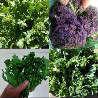 イタリア野菜の種 ブロッコリー系4種 来年の春まで採れる秋冬野菜(野菜)