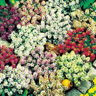 花の種  ☆   アリッサム 混合   100粒(その他)