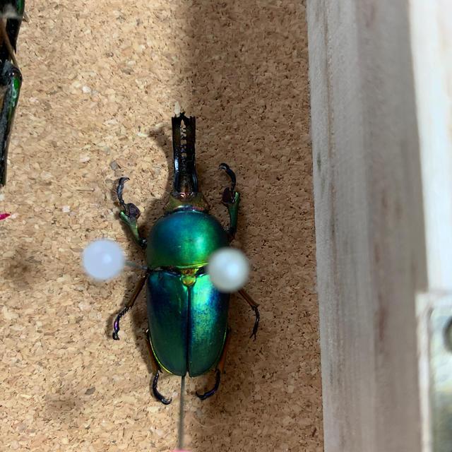 色虫標本 その他のペット用品(虫類)の商品写真