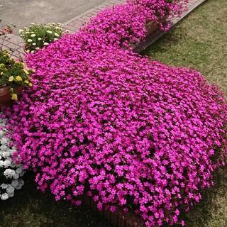お花の種 シレネ ピンクパンサー(その他)
