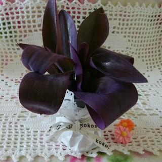 多肉植物 ムラサキゴテン 紫御殿 パープルハート 3カット苗(その他)