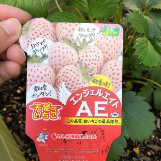 イチゴの苗  白いイチゴ  天使のいちご  エンジェルエイト  4株(フルーツ)