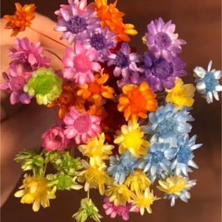 大地農園スターフラワーブロッサム 70本ハーバリウム花材(ドライフラワー)