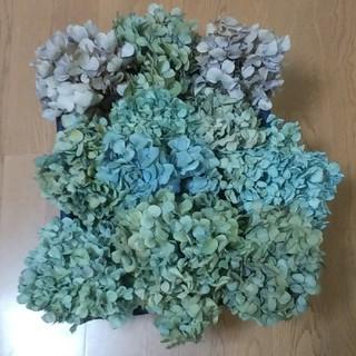 【KAWORI様確認用】アジサイ ドライフラワー 青緑~黄緑~薄紫 茎有 11(ドライフラワー)