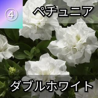 【ペチュニア④】ダブルホワイト 種子30粒(その他)