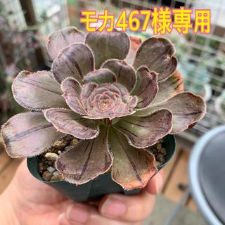 モカ467様専用 多肉植物(その他)