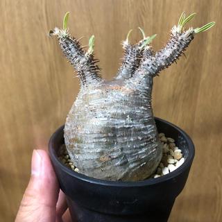 ネイバーフッド(NEIGHBORHOOD)のパキポディウム グラキリス 現地球 パキプス srl インビジ 塊根植物(その他)