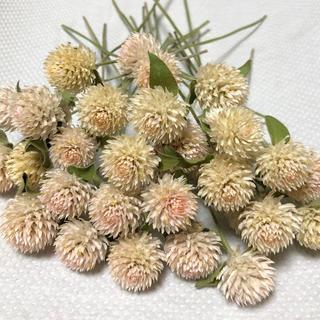ドライフラワー花材ハーバリウムセンニチコウ30本(ドライフラワー)